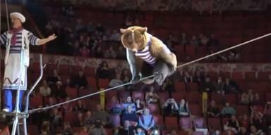 Akrobatischer Bär tanzt auf dünnem Drahtseil