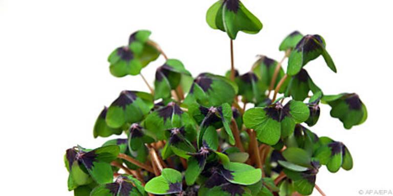 Vierblättriger Klee ist keine langlebige Pflanze