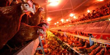 Vogelgrippe Geflügel Hennen Hühner