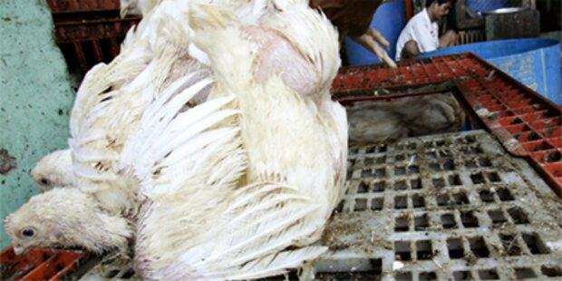 Südkorea: Vogelgrippe erneut ausgebrochen