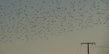 Vogelschwarm Stare