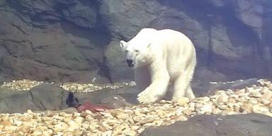Killer-Eisbär frisst Krähe