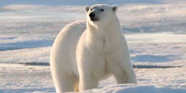 WWF_Eisbär-©Steve-Morello-W