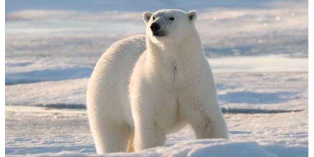 Eisbär tötet russischen Wissenschafter