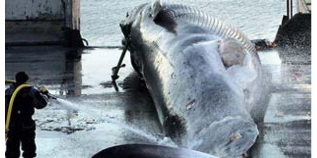 Japan soll Walfleisch-Skandal gedeckt haben