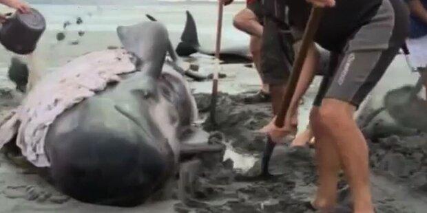 16 gestrandete Wale eingeschläfert
