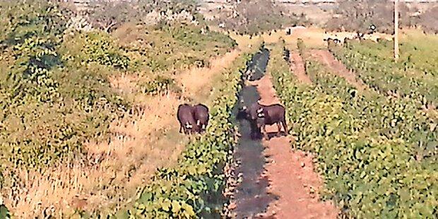 Wasserbüffel-Jagd in Weingärten