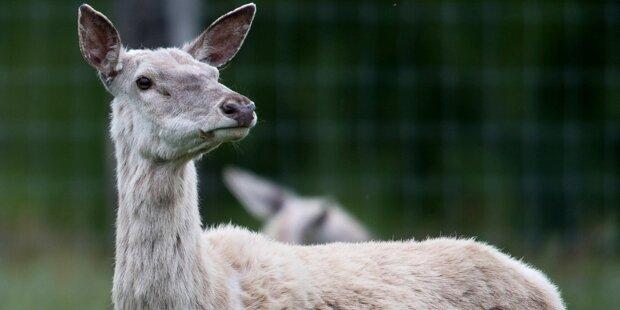 Rätsel um weiße Hirsche gelöst