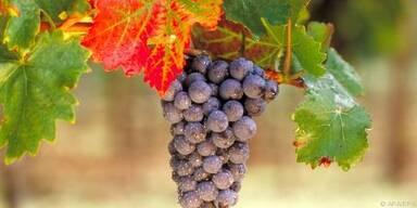 Weintrauben schimmeln leicht