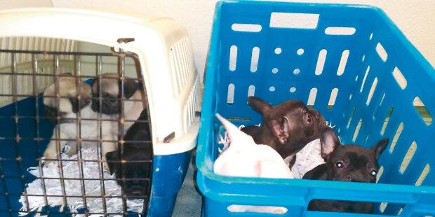 Welpenhändler hatten Hunde in Manteltasche
