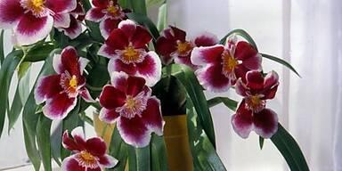 Wenig Sonne und Dünger: Orchideen richtig pflegen