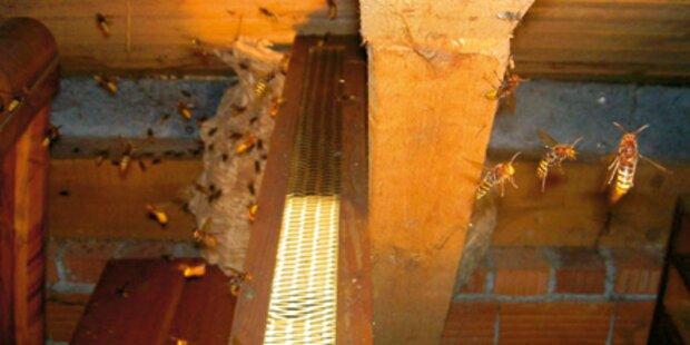 Bei Hornissenjagd Dach abgefackelt