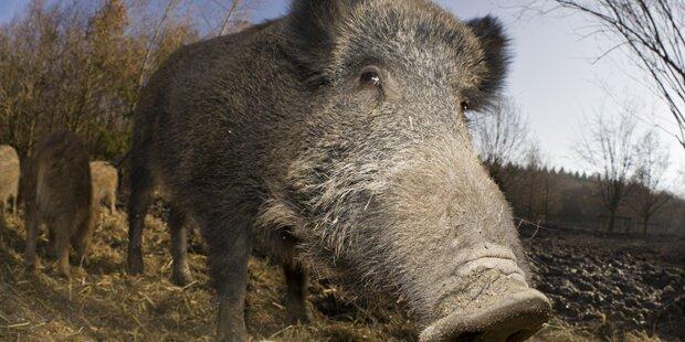 Tobende Wildschweine töteten ISIS-Kämpfer