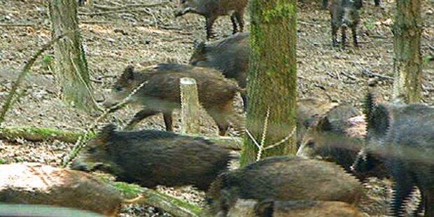 Wildschwein-Alarm in Österreich