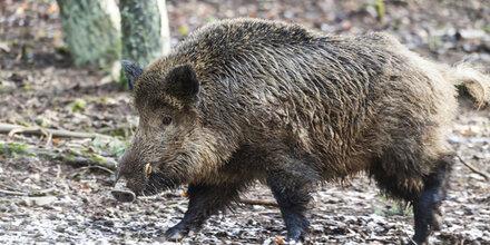 Jogger flüchtet vor Wildschweinrudel auf Baum