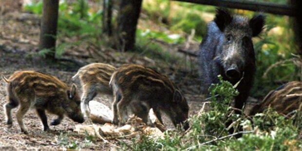 Wildschweine terrorisieren Ostösterreich