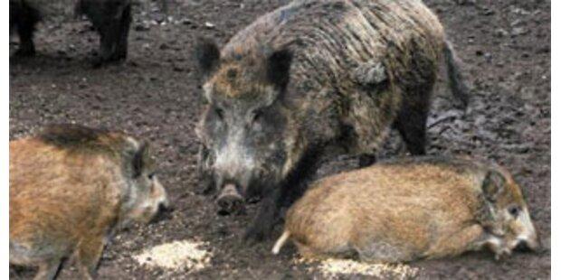 Wildschweinrotte verursachte Chaos auf Autobahn