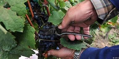 Winzer freuen sich über gute Weinqualität