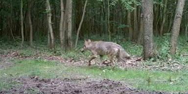 Wolf Burgenland