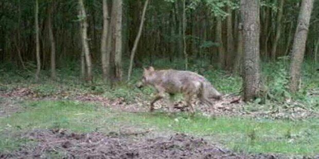 Der Wolfgipfel in Pfarrwerfen