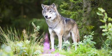 Wolf reißt neun Schafe in Niederösterreich