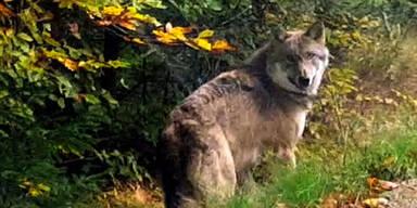 Treibt der Wolf erneut sein Unwesen?