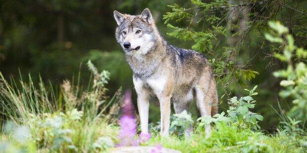 Wolf aus Nordeuropa wildert in Tirol