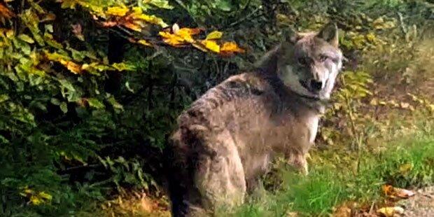 Wie geht es mit dem Wolf weiter?