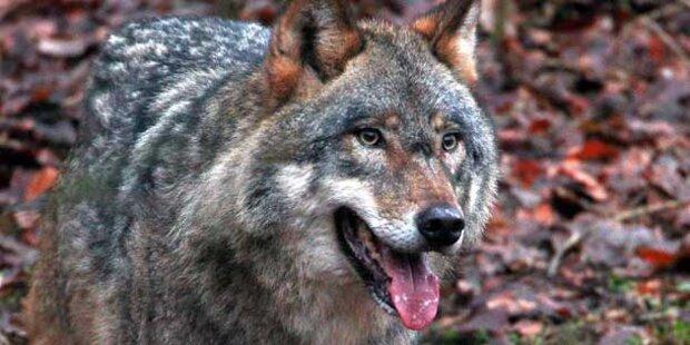 In Schweden beginnt die Wolfsjagd