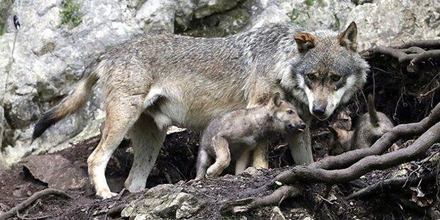 Bär, Luchs und Wolf kehren heim