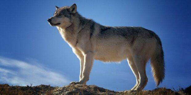 Wölfe sind jetzt schon im Wienerwald
