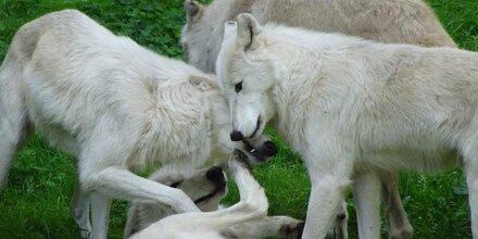 Der Wolf Ein Fakten Und Mythen Check Ausdrucken österreich
