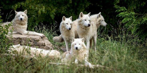 Mehr EU-Mittel für Wolf, Bär, Luchs & Co