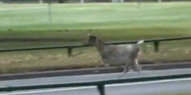 Polizei jagt Ziege durch Melbourne