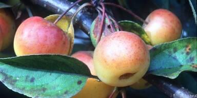 Zieräpfel bringen Farbe in den Garten