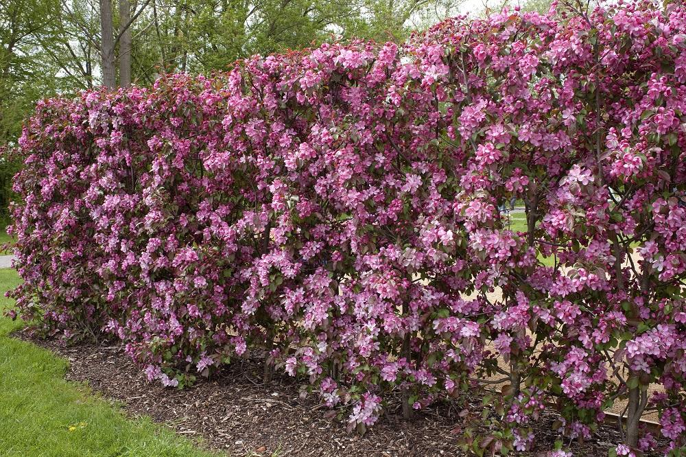 Zierapfel rosa - Garten-CH - NaturLust #15 - NaturGarten S. 28,29