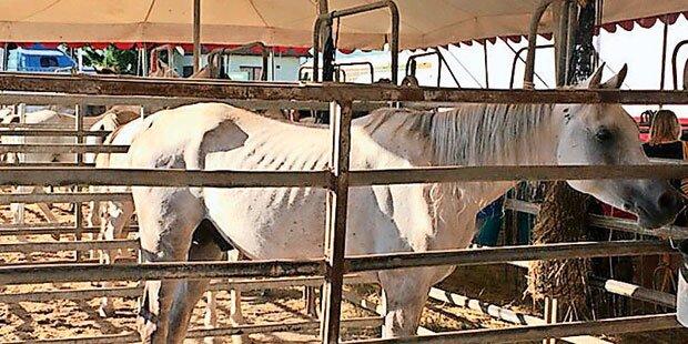 Wirbel um abgemagerte Zirkus-Pferde