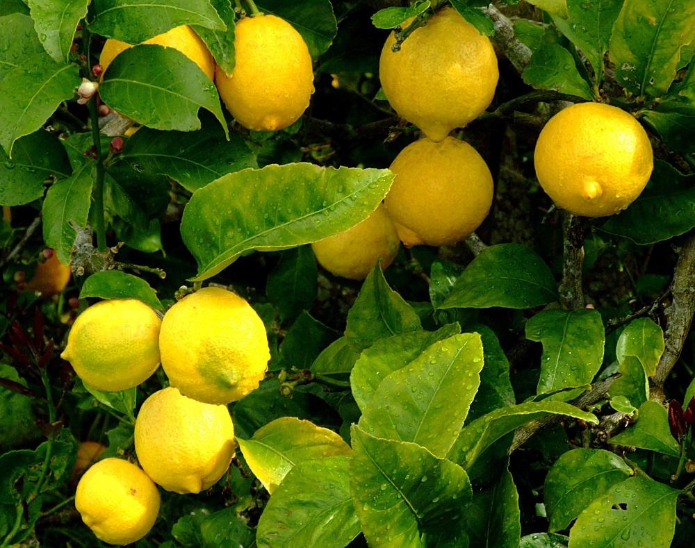 Zitrusfrüchte - Garten-CH - Balkongarten