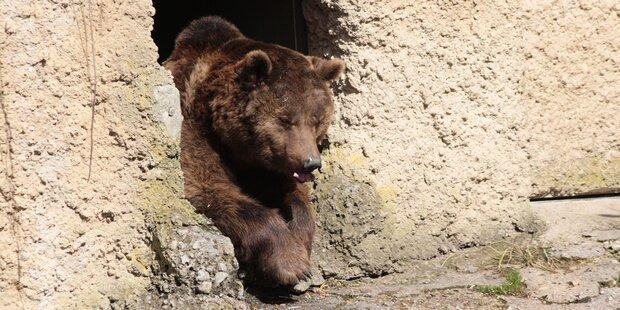 Die Bären im Zoo sind wach