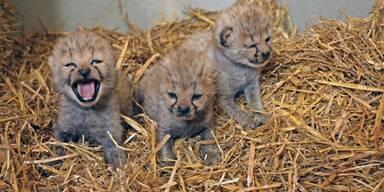 Zoo Salzburg Geparden Nachwuchs