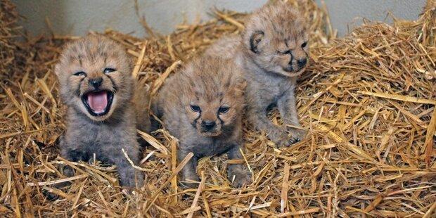 Süßer Zuwachs bei den Geparden