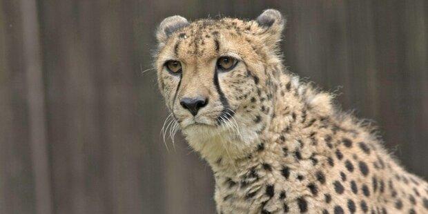 Erneuter Geparden-Ausbruch im Zoo Salzburg