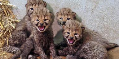 Geparden Nachwuchs