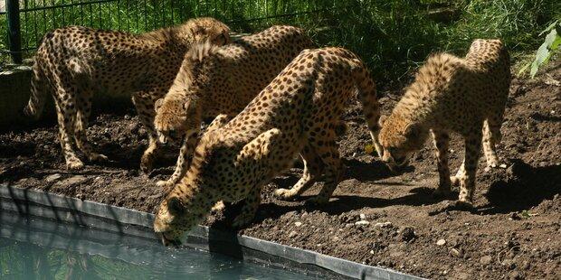Geparden-Gehäge nun sicherer