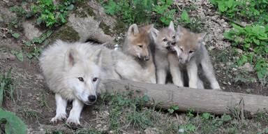 Polar Wolf Welpen