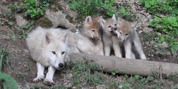 Keine Abschuss-Freigabe für Bär & Wolf in Tirol