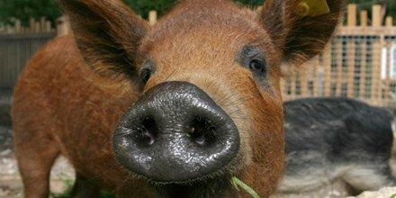 Das Wollschwein-Weihnachts-Orakel