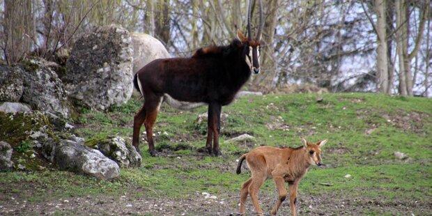 Nachwuchs bei den Rappenantilopen
