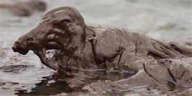Ölkatastrophe: Jetzt sterben die Tiere