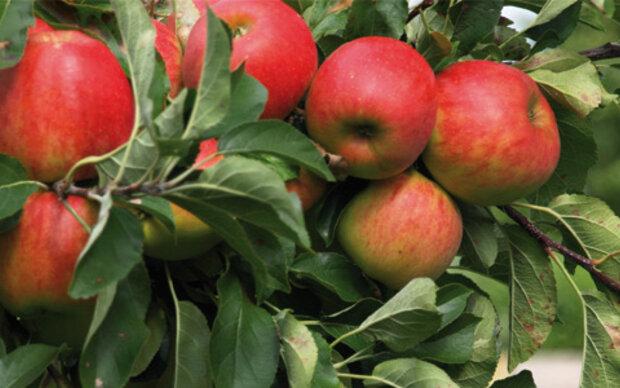 Apfel ist Anti-Stress- und Anti-Aging-Obst